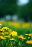 Meadow with dandelions Stock Photography