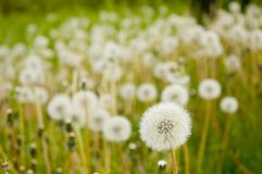 Meadow with dandelions Stock Photo