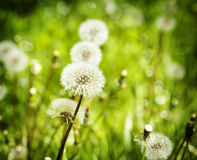 Meadow of dandelions Foto de archivo