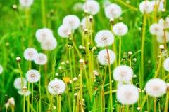 Meadow of dandelions Fotos de archivo