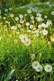 Meadow of Dandelions close up Stock Photos