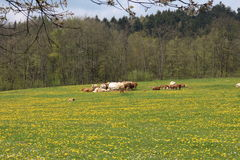 Meadow with dandelions and cows near Slavonice Stock Images