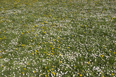 Meadow with dandelions and daisies Stock Photos