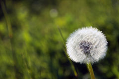 Meadow dandelions after flowering make this light Stock Images
