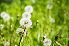 Meadow of dandelions Fondo del verano Imagen de archivo libre de regalías
