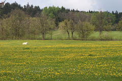 Meadow with dandelions and heifer near Slavonice Stock Image