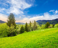 Meadow with dandelions near forest on hillside at sunrise. Mountain landscape in summer time. meadow with fresh green grass and dandelions near the mixed forest Stock Photography