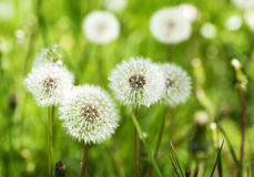 Meadow of Dandelions. Stock Photography