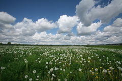 Meadow of dandelions Stock Images