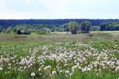 Meadow of dandelions Stock Image