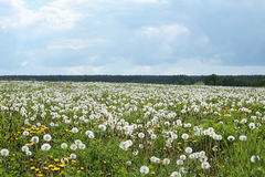 Meadow of dandelions Stock Photography