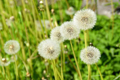 A meadow with dandelions. Royalty Free Stock Photo
