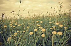 Meadow with dandelions and Timothy-grass. Stock Photos