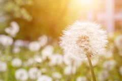 Meadow Of Dandelions to Make Dandelion Wine. stock photography
