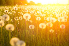 Meadow Of Dandelions to Make Dandelion Wine. stock images