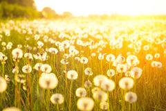 Meadow Of Dandelions to Make Dandelion Wine. royalty free stock photography