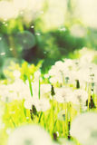 Meadow of Dandelions. Toned Stock Images