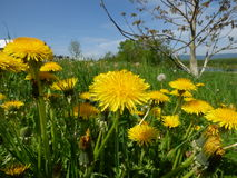 Meadow with dandelions Royalty Free Stock Image