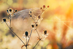 Meadow at dawn flowers and cobwebs Stock Photos