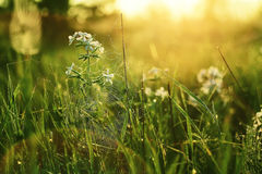 Meadow at dawn flowers and cobwebs Royalty Free Stock Photos