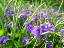 Meadow with dog-violets. Nice green meadow with dog-violets Royalty Free Stock Photos