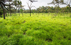 Meadow in dry dipterocarp forest Royalty Free Stock Images