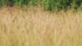 Meadow with dry grass on wind at summer, variable depth of field stock video footage