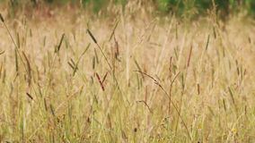 Meadow with dry yellow grass on wind at summer, close up stock video