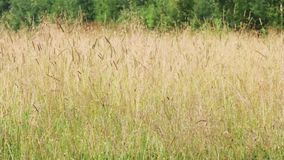 Meadow with dry yellow grass on wind at summer day stock footage