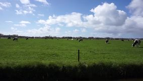 Meadow with dutch cows stock video