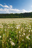 Meadow with faded dandelions Royalty Free Stock Photography