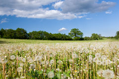Meadow with faded dandelions Stock Image