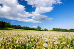 Meadow with faded dandelions Royalty Free Stock Photo