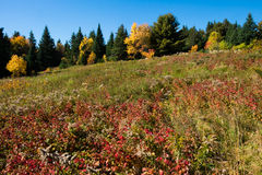 Meadow. A fall meadow with red rasperrybushes in the foreground and a line of pines and fall colored trees in the background Stock Photography