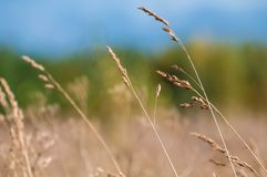 Meadow Feather grass in the rays stock images