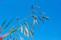 Meadow fescue Festuca partensis on a bright sunny day stock photo