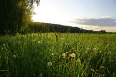 Meadow with field grass and dandelions at sunset Stock Images
