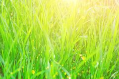 Meadow Field in Summer Spring Vibrant Young Green Grass Bright Sunlight with Golden Flare. Botanical Nature Background Royalty Free Stock Photos