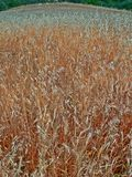 Meadow field with wheat corn grain cereal crops. Summer Royalty Free Stock Photos