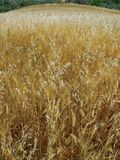Meadow field with wheat corn grain cereal crops. Summer Royalty Free Stock Photography