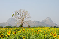 Meadow filled with blossoming sunflower. Stock Images
