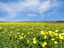Meadow filled with yellow flowers Royalty Free Stock Photos