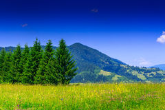 Meadow with fir trees on background of the high mountain. Large mountain meadow grasses with a range of fir trees on the background of the high mountains and Royalty Free Stock Photography