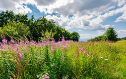Meadow with fireweed near the beech forest. Beautiful summer scenery on a warm and cloudy day. lovely purple flowers in bright sunlight stock image