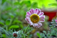 Meadow Floret. A beautiful tiny Meadow Floret Royalty Free Stock Images