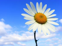 Meadow flower. With white petals against the blue sky Royalty Free Stock Photo