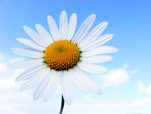 Meadow flower. With white petals against the blue sky Royalty Free Stock Images
