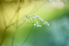 Meadow flower Royalty Free Stock Photo