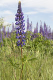 Meadow flower grows blue lupine Stock Photo