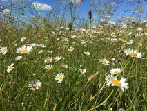 Meadow. It is a flower like a daisy. It is in Lithuania in summer. Scientists calls it leucanthemum stock images